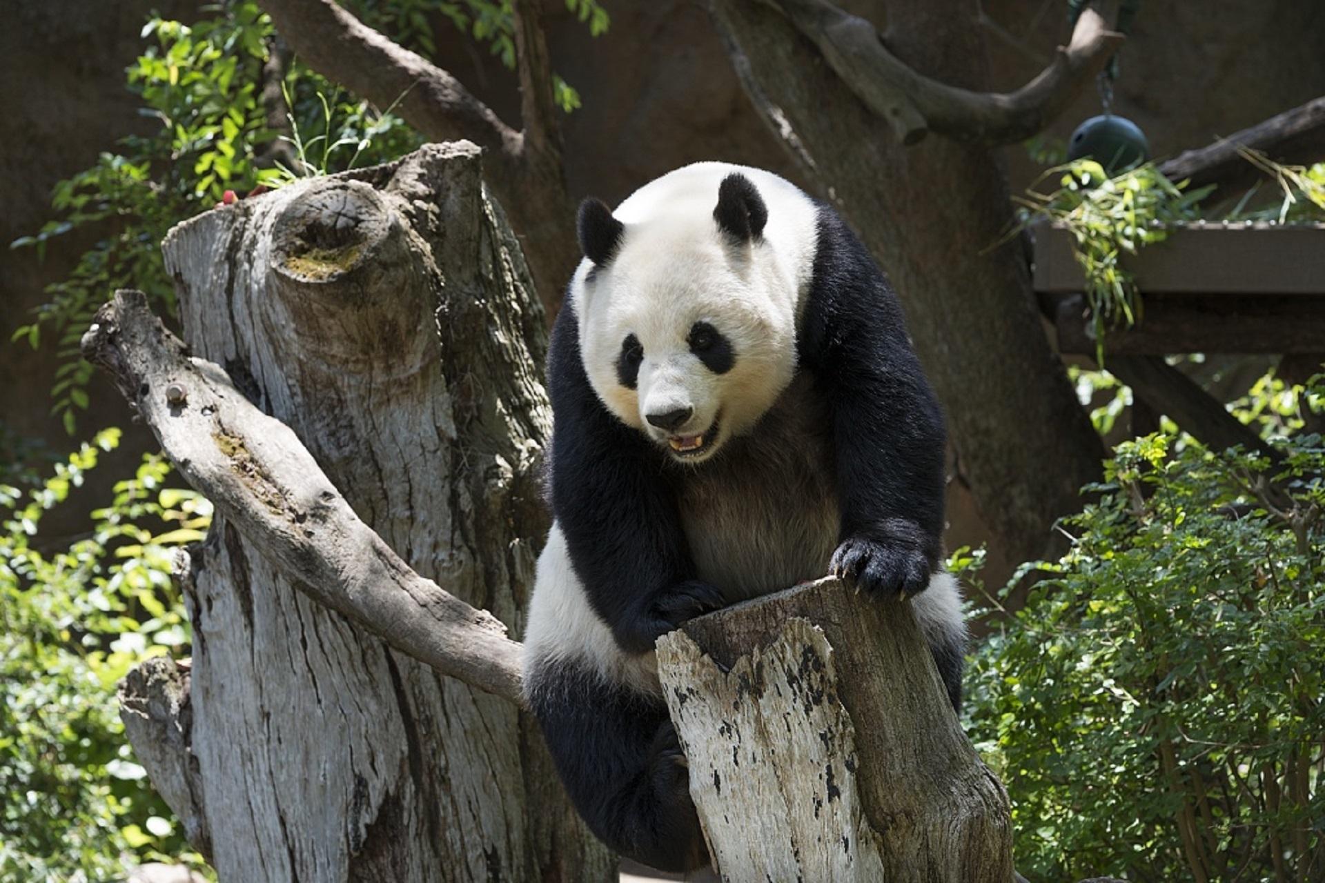 panda-739331
